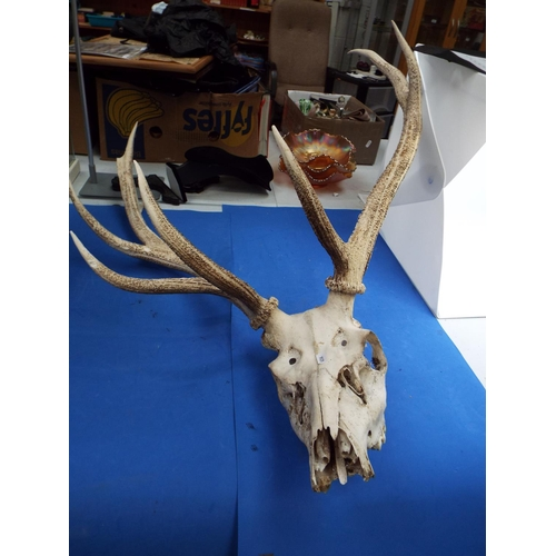 1 - Stags Skull with 8 Point Antlers (S)