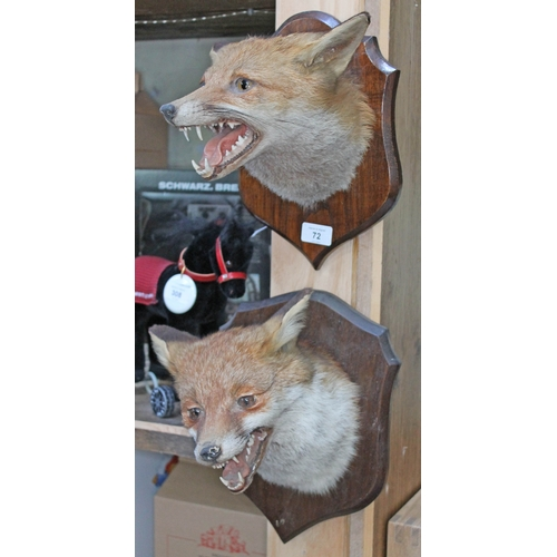 72 - A matched pair of taxidermy fox head torphies mounted on oak shields....