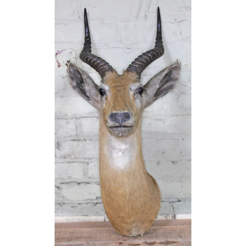 3 - A taxidermy African Impala, labelled 'The Jungle Rowland Ward 167 Piccadilly London', length 73cm....