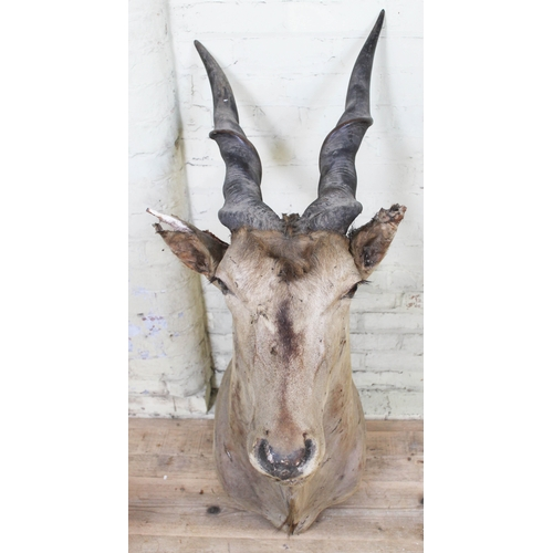 3 - Taxidermy: A Large Common Eland (Taurotragus oryx) circa 1900, shoulder and head mount, horn length ...