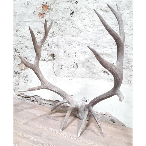 19 - A large pair of 14 point stag antlers with partial skull, width 91cm & height 112cm...
