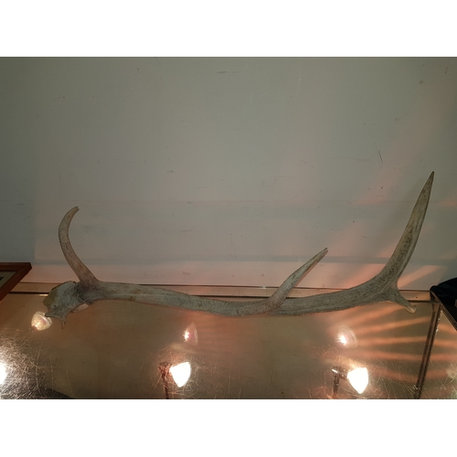 48 - 4 prong antler about 2 ft long...