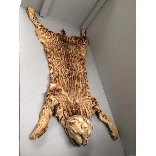 40 - South American wild cat skin & wood blocked head (in a tired state)...