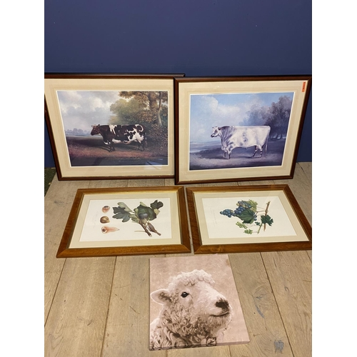 39 - Pair framed and glazed modern coloured prints of an old short horn bull and a cow (overall 68 x 82 c...