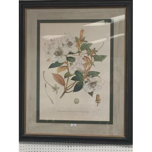 36 - Pair of large Botanical Prints, Rhododendrons, framed and glazed, 95 x 76 including frames cm, faded