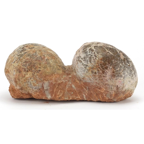 11 - Large cluster of two fossilised dinosaur eggs, 13.5cm H x 31cm W x 13cm D...
