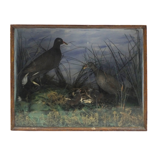 2030 - Taxidermy glazed display of four moorhens, 49cm H x 62.5cm W x 27cm D...