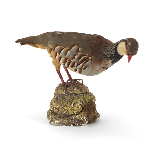 148 - Taxidermy partridge with naturalistic stand, 21cm high...