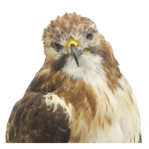 2040 - Taxidermy red tailed hawk, housed in a glazed display case, 69.5cm H x 42cm W x 42cm D...