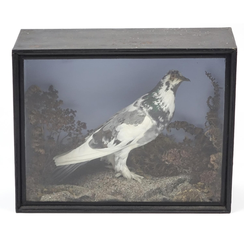 2042 - Victorian taxidermy pigeon, housed in a glazed display case, 34cm H x 42.5cm W x 16.5cm D...