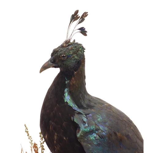55 - *Description amended 05-07-19* Taxidermy Himalayan moral raised on an oval ebonised base, with J Gar...