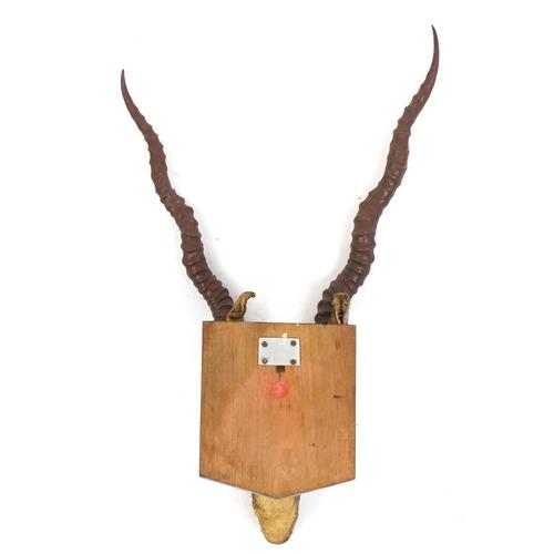 97 - Taxidermy gazelle head on an oak shield back, 65cm high...