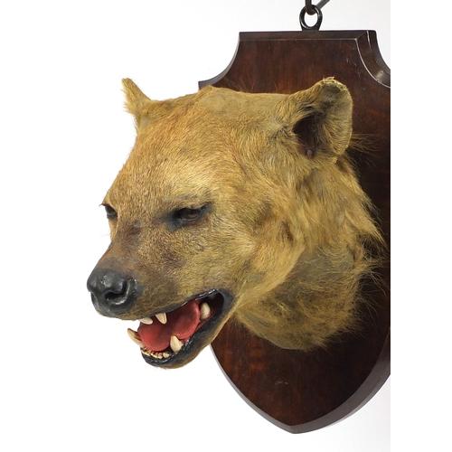 96 - Taxidermy hyena head mounted on an oak shield back, with Edward Gerrard & Sons Taxidermist label to ...