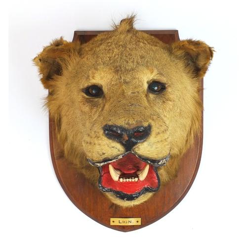 95 - Taxidermy lion's head with mahogany shield back, 50cm high...