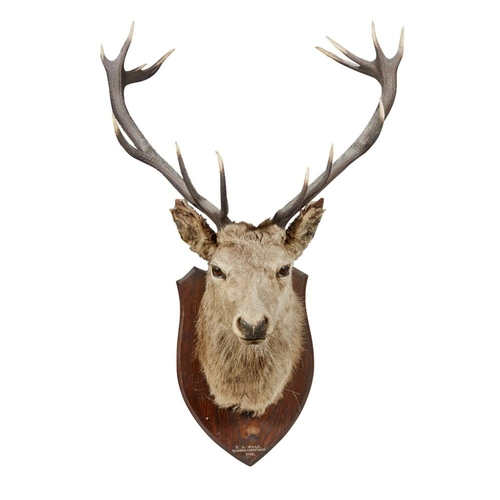 29 - A LARGE IMPERIAL STAG'S HEAD<br><br>DATED 1915 <br><br>mounted on an oak shield bearing inscription ...