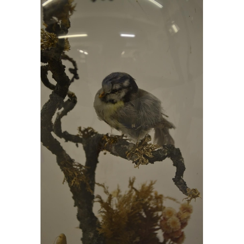 1656 - 19th Century taxidermy blue tit under glass dome with circular mahogany base...
