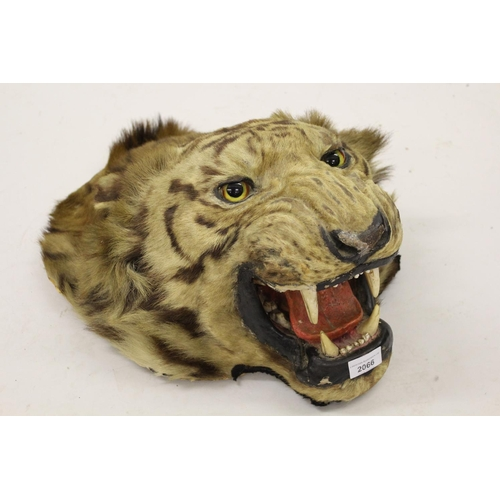 2066 - 19th Century taxidermy tiger's head...