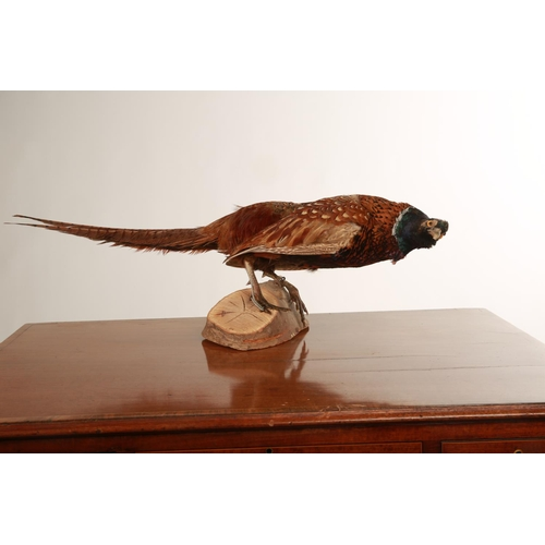 32 - Taxidermy; a Golden Pheasant mounted a naturalistic wooden base; 70cm long
