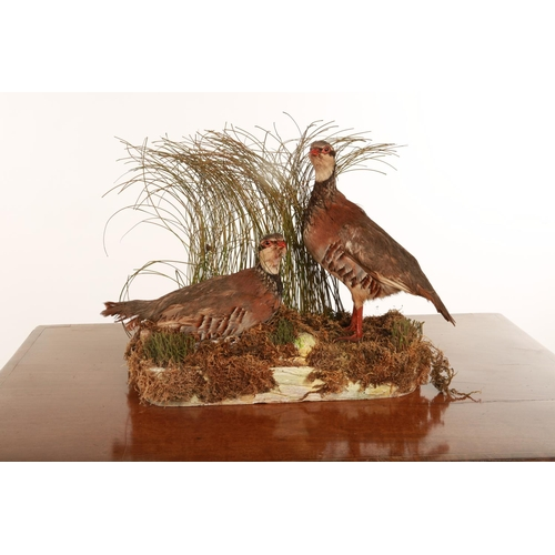 50 - Taxidermy; a pair of Partridges mounted on a naturalistic base; 43cm wide