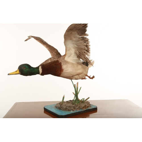 56 - Taxidermy; a flying mallard raised on a stylised painted naturalistic base; 52cm long