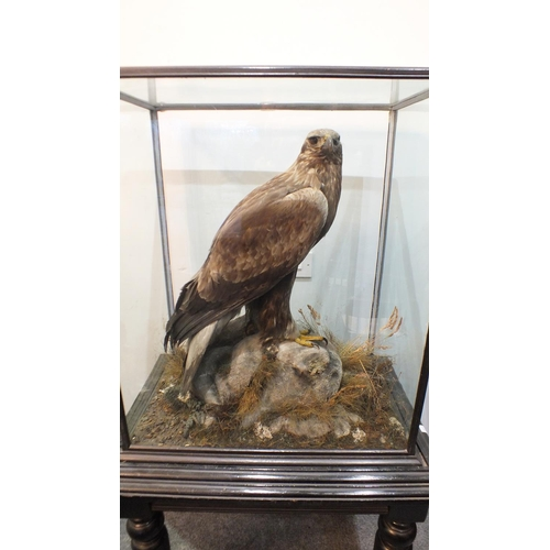 851 - Taxidermy, a good Victorian example of a Golden Eagle, head facing right, standing with wings folded...