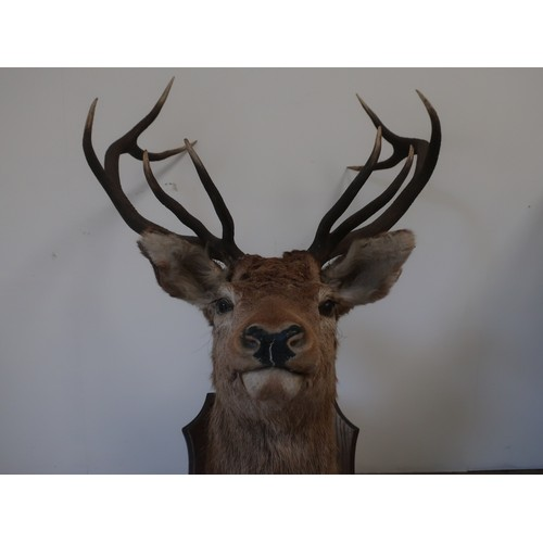 475 - Taxidermy - ten point Stag head and neck, on shield shaped oak plaque, H132cm W78cm D72cm
